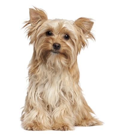 Yorkshire Terrier sitting against white background