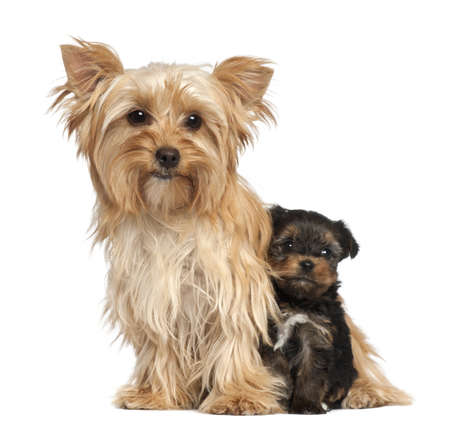 Female Yorkshire Terrier and her puppy sitting against white background photo