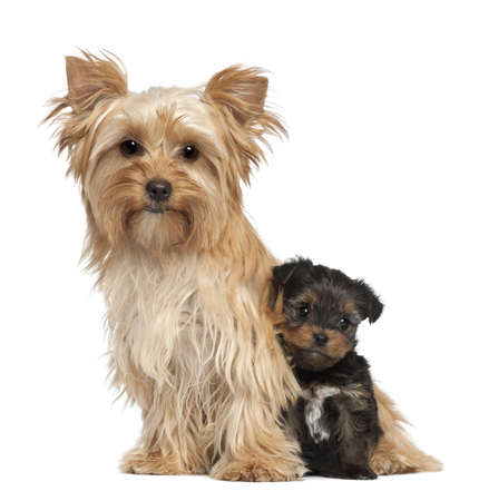 Female Yorkshire Terrier and her puppy sitting against white background Фото со стока