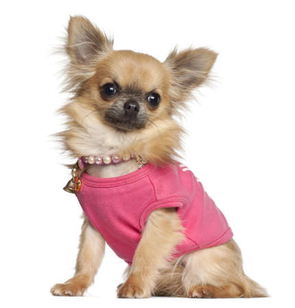 Chihuahua sitting against white background photo