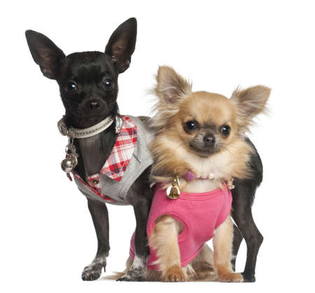 Chihuahuas sitting against white background photo