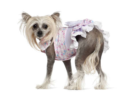Chinese Crested Dog, 2 years old, standing against white background Stock Photo