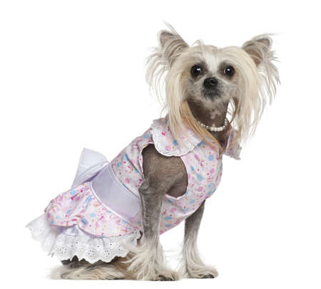 Chinese Crested Dog, 2 years old, sitting against white background Stock Photo