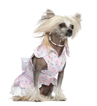 Chinese Crested Dog, 2 years old, sitting against white background photo