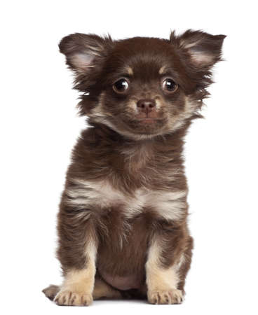 Chihuahua puppy, 3 months old, sitting against white background