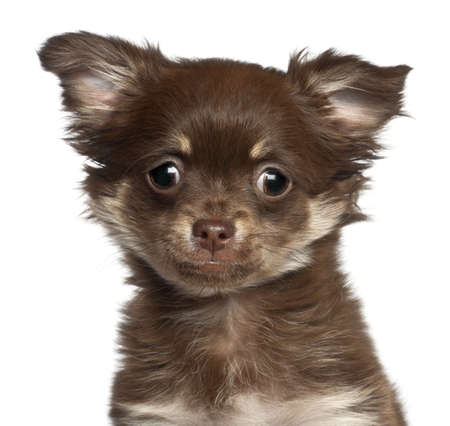 chihuahua 3 months old: Chihuahua puppy, 3 months old, against white background