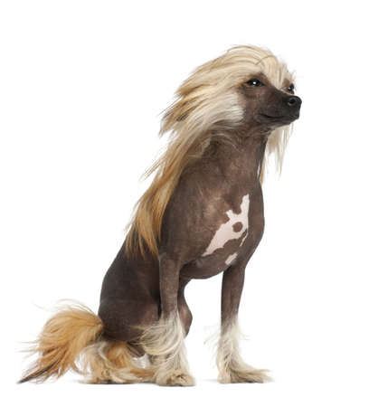 Chinese Crested Dog, 9 months old, sitting against white background photo