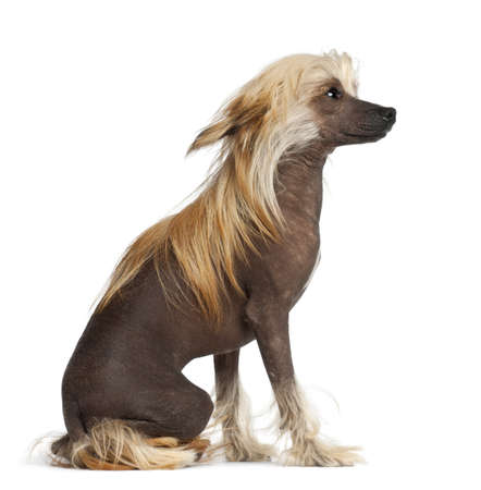 Chinese Crested Dog, 9 months old, sitting against white background