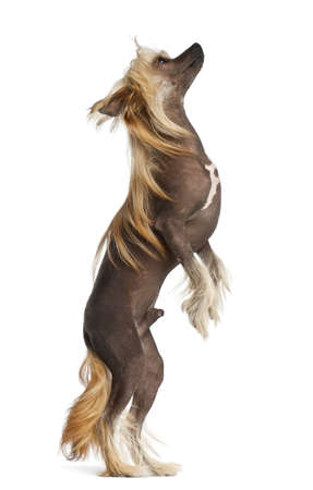 Chinese Crested Dog, 9 months old, standing against white background Stock Photo