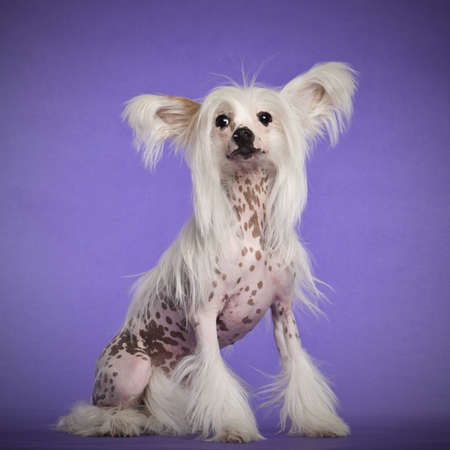 Chinese Crested Dog, 9 months old, sitting against purple background photo