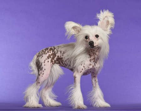 9 months old: Chinese Crested Dog, 9 months old, standing against purple background Stock Photo