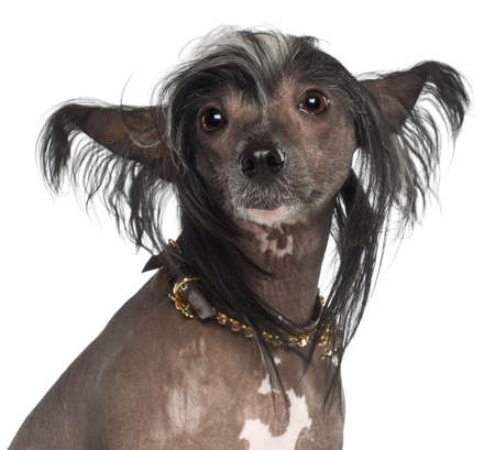 Chinese Crested Dog, 1 year old, sitting against white background photo