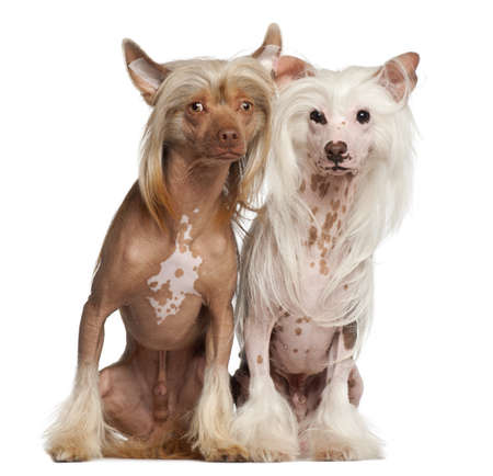 Chinese Crested Dogs, 11 and 16 months old, sitting against white background photo