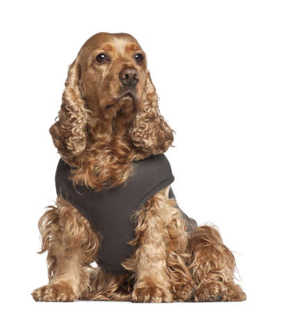 vest: English cocker spaniel, 6 years old, sitting against white background