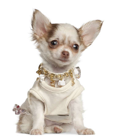Chihuahua puppy, 12 weeks old, sitting against white background photo