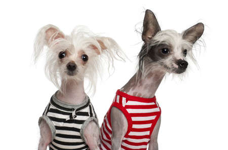 Chinese Crested Dogs, 10 and 18 months old, sitting against white background photo