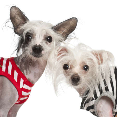 Chinese Crested Dogs, 10 and 18 months old, against white background Stock Photo