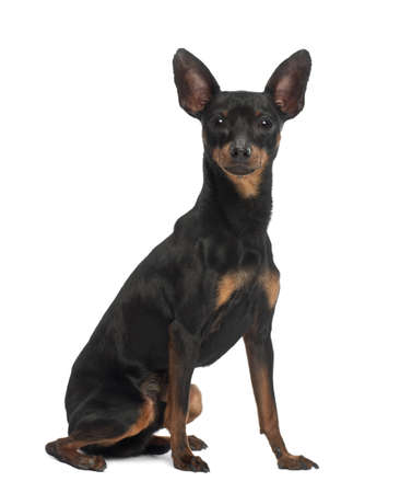 pinscher: Miniature Pinscher, 10 months old, sitting against white background