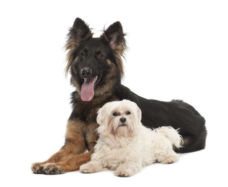 Maltese, 6 years old, and German Shepherd Dog, 18 months old, portrait against white background photo