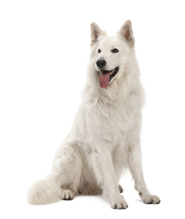berger: Berger Blanc Suisse, 5 years old, sitting against white background Stock Photo