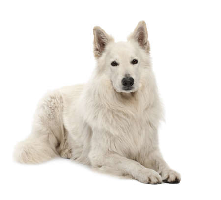berger: Berger Blanc Suisse, 5 years old, portrait against white background