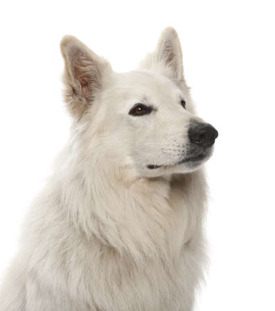 berger: Berger Blanc Suisse, 5 years old, against white background Stock Photo