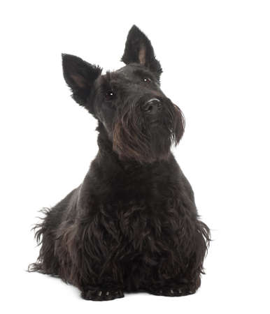 Scottish Terrier, 20 months old, standing against white background photo