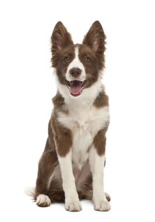 Border Collie puppy, 5 months old, sitting against white background photo