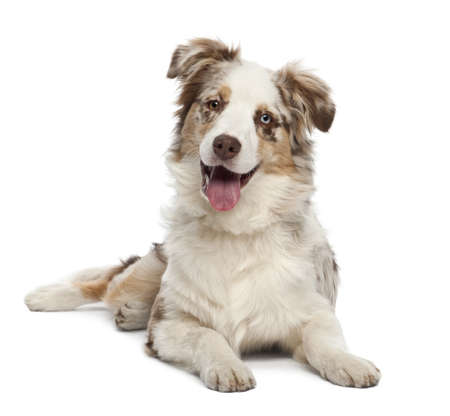 Australian Shepherd puppy, 6 months old, portrait against white background photo