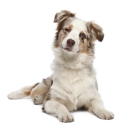 Australian Shepherd puppy, 6 months old, portrait against white background photo