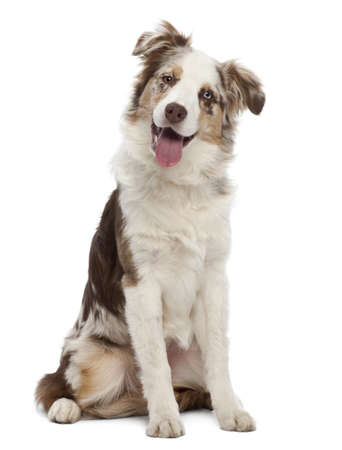 Australian Shepherd puppy, 6 months old, sitting against white background photo