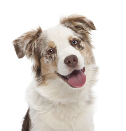 Australian Shepherd puppy, 6 months old, portrait against white background Stock Photo - 14275888