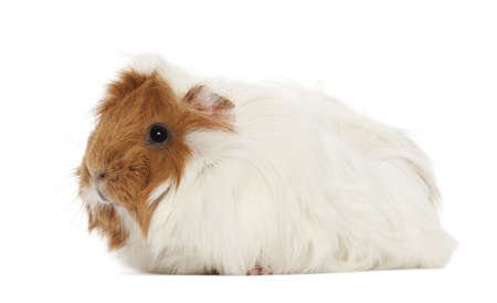 Guinea pig against white background photo