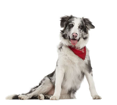 Border Collie, 7 mois, assis contre un fond blanc photo