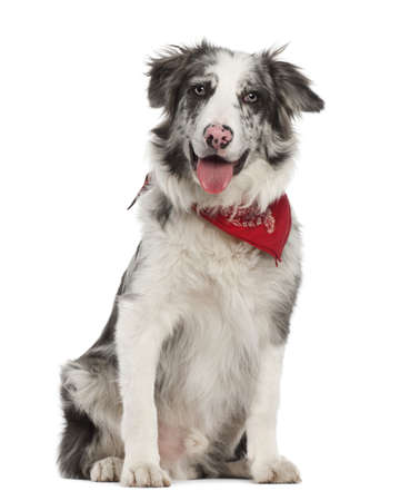 Border Collie, 7 months old, sitting against white background photo
