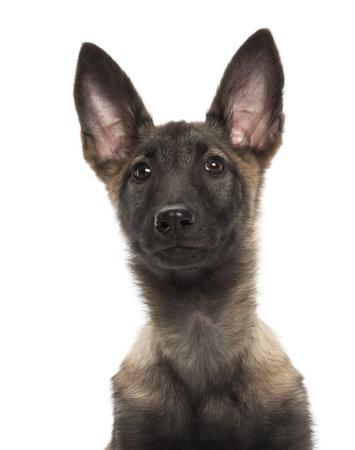 Belgian Shepherd Dog puppy, 3 months old, portrait against white background photo