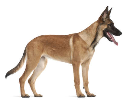 Belgian Shepherd Dog puppy, 5 months old, standing against white background