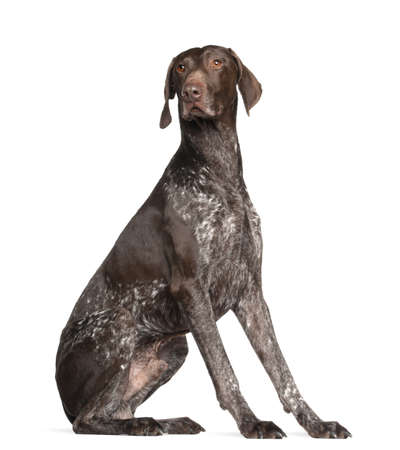 pointer dog: German Shorthaired Pointer, 4 years old, sitting against white background