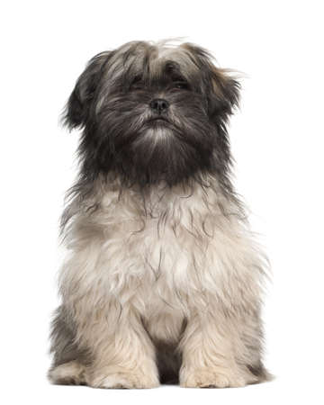 Lhasa apso sitting against white background photo