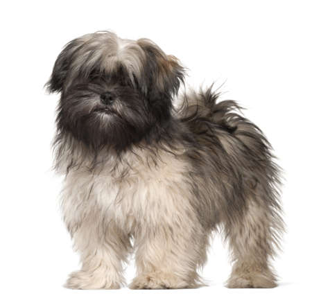 Lhasa apso portrait against white background photo