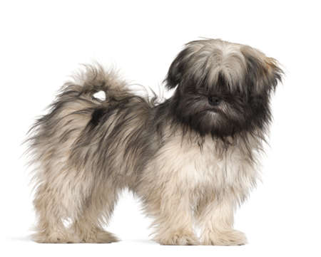 Lhasa apso standing against white background photo