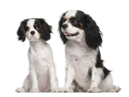 Cavalier King Charles Spaniel puppy, 3 months old, Cavalier King Charles Spaniel, 4 years old, sitting against white background photo