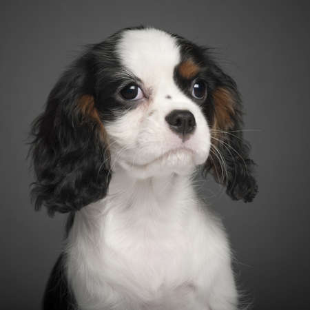 Cavalier King Charles Spaniel puppy, 3 months old, portrait against white background photo