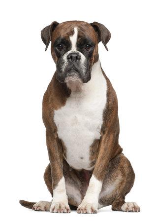 perro boxer: Boxer, 3 años de edad, sentado contra el fondo blanco