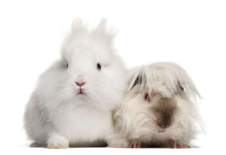 pig out: Rabbit and guinea pig portrait against white background Stock Photo