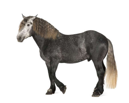 gray horse: Percheron, 5 years old, a breed of draft horse, standing against white background