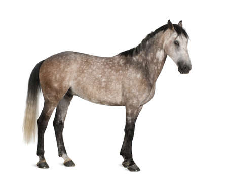 animal themes: Belgian Warmblood horse, 6 years old, standing against white background Stock Photo