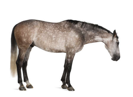 cut outs: Belgian Warmblood horse, 6 years old, standing against white background Stock Photo