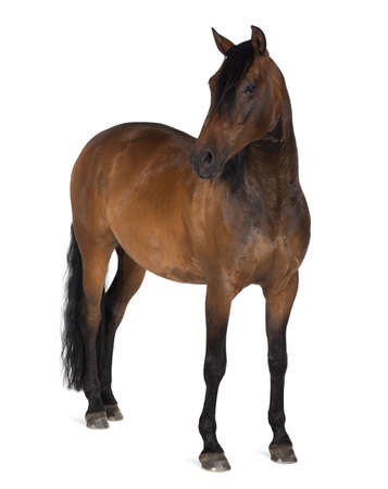 animal themes: Mixed breed of Spanish and Arabian horse, 8 years old, standing against white background