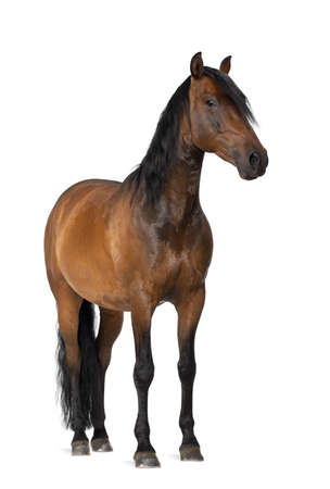 white background: Mixed breed of Spanish and Arabian horse, 8 years old, portrait standing against white background